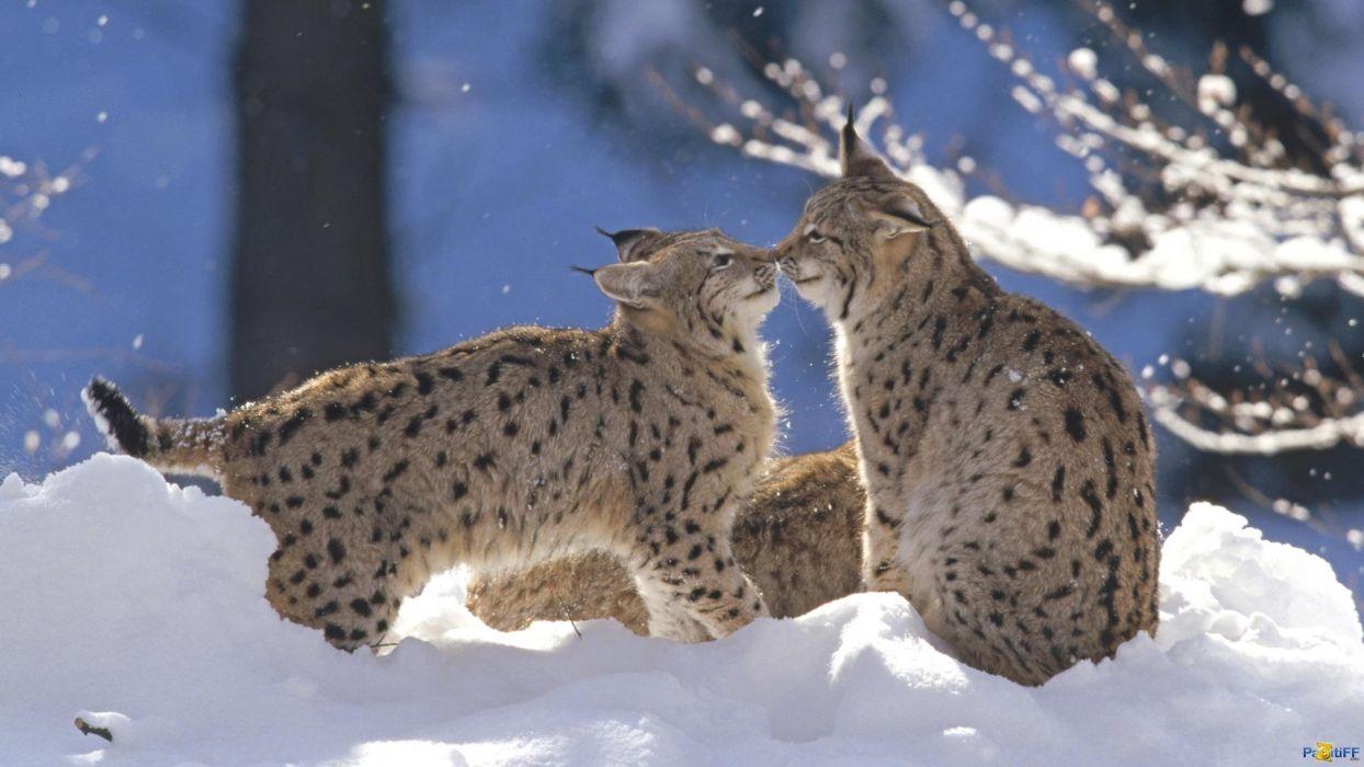 winter snow nature landscape cat lynx baby kitten wallpaper