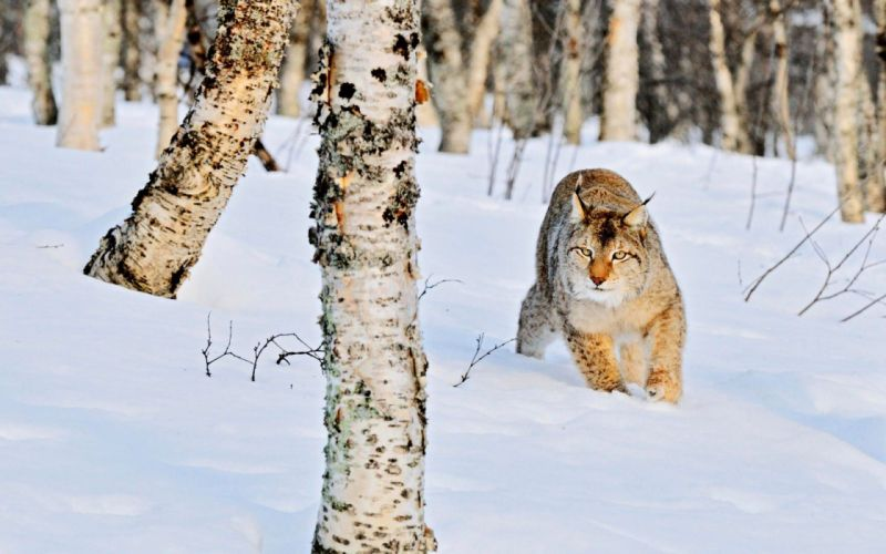 winter snow nature landscape cat lynx wallpaper