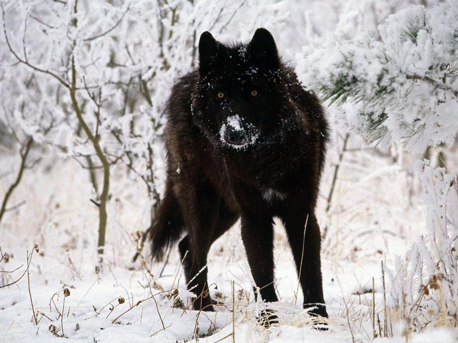 winter snow nature landscape wolf wolves wallpaper