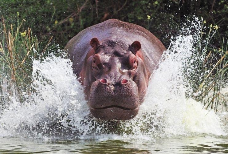 hipopotamo animales agua wallpaper