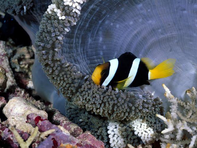 anemone fish deep ocean animal nature cute wallpaper