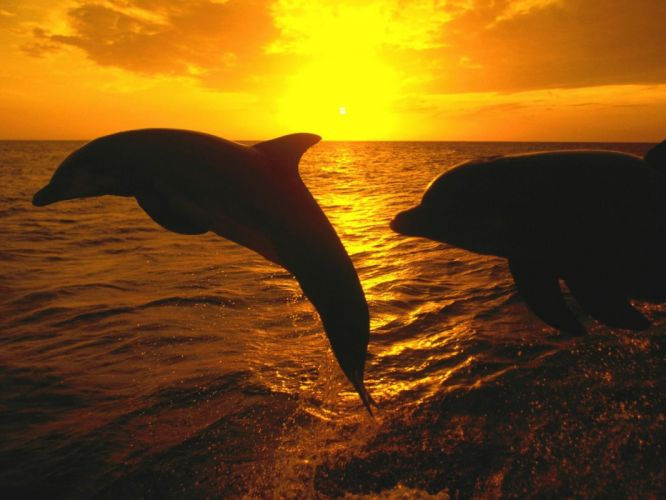 ocean sunset nature animal cute dolphin fish wallpaper