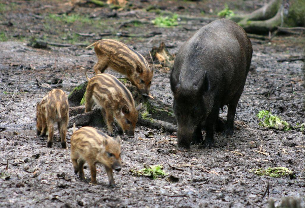 rallones crias jabali animales porcinos wallpaper