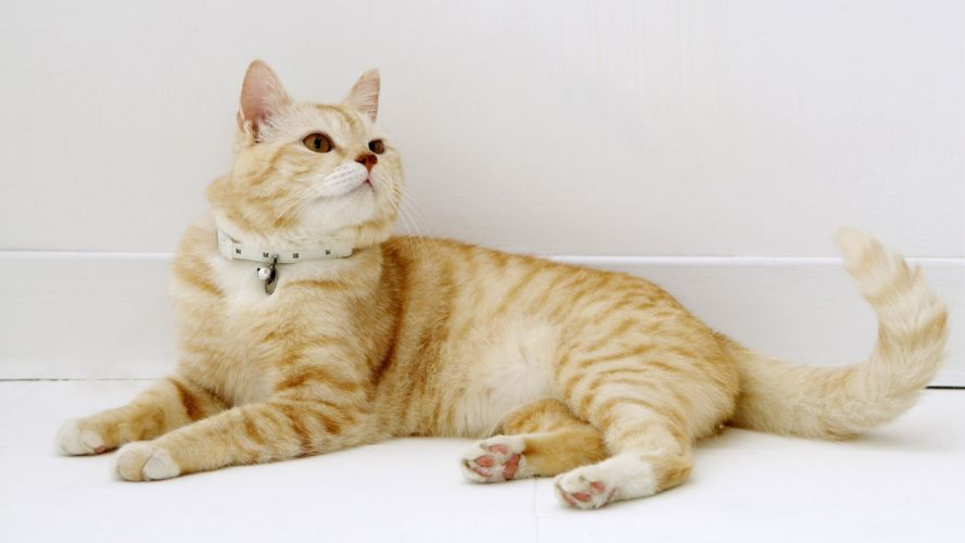 cato collar felino animal rayas wallpaper