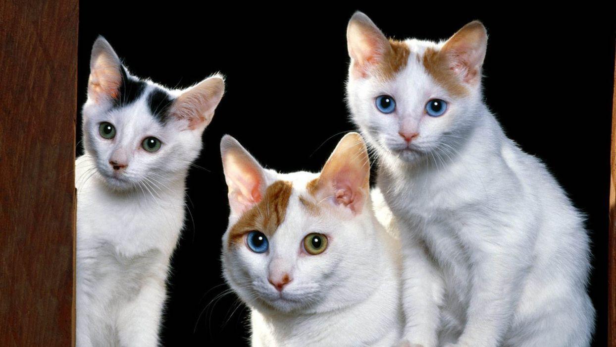 3 gatos felinos wallpaper