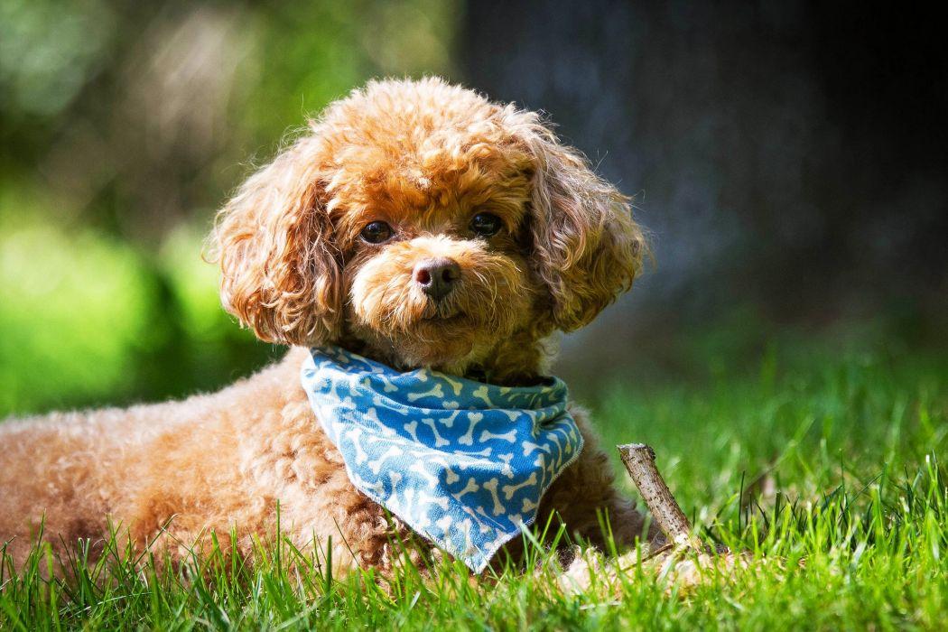 caniche perro canino animal paA wallpaper