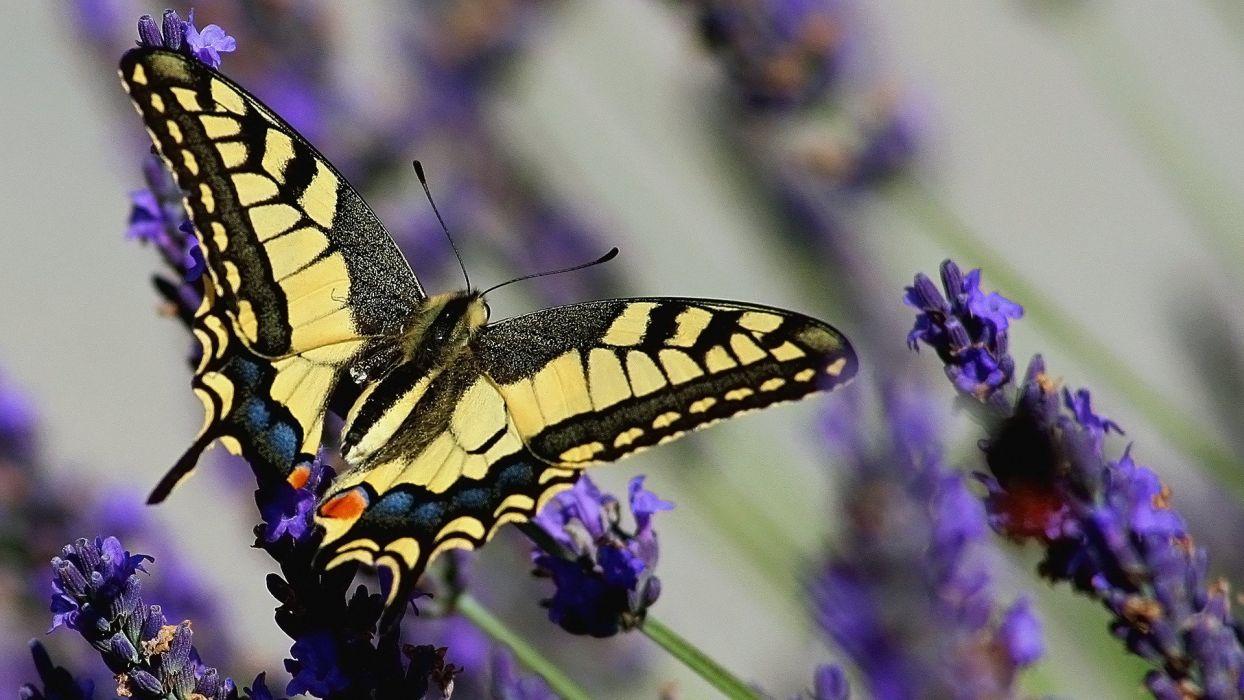 mariposa amarilla negra insecto animales wallpaper