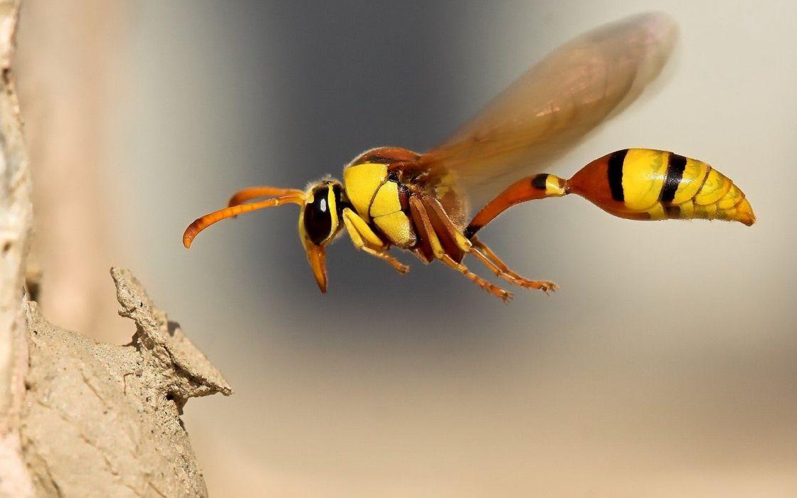 avispa chaqueta amarilla insecto animales wallpaper