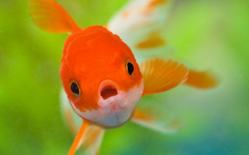peces dorado rio animales wallpaper