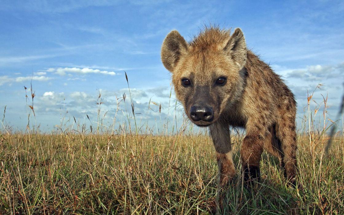 hiena anilmales savanna carroA wallpaper