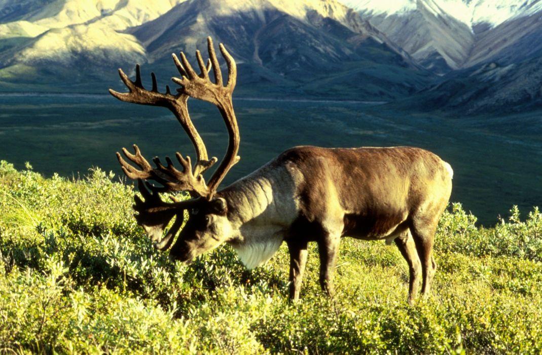 caribou herbiboro tundra animales wallpaper