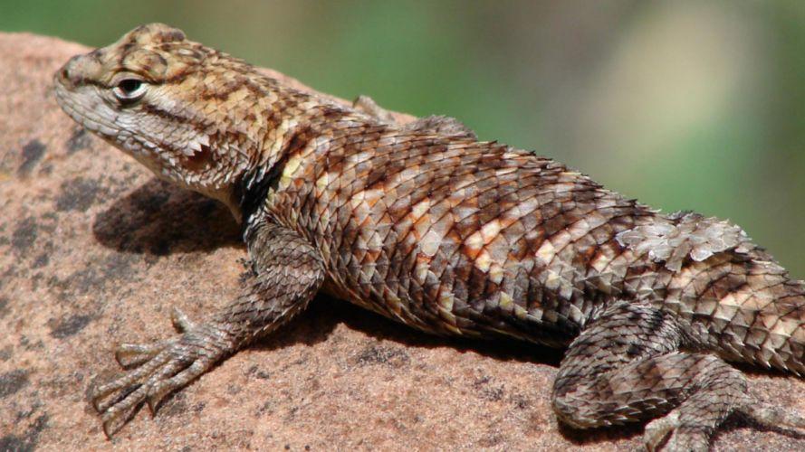 lagartija marron reptil animales wallpaper