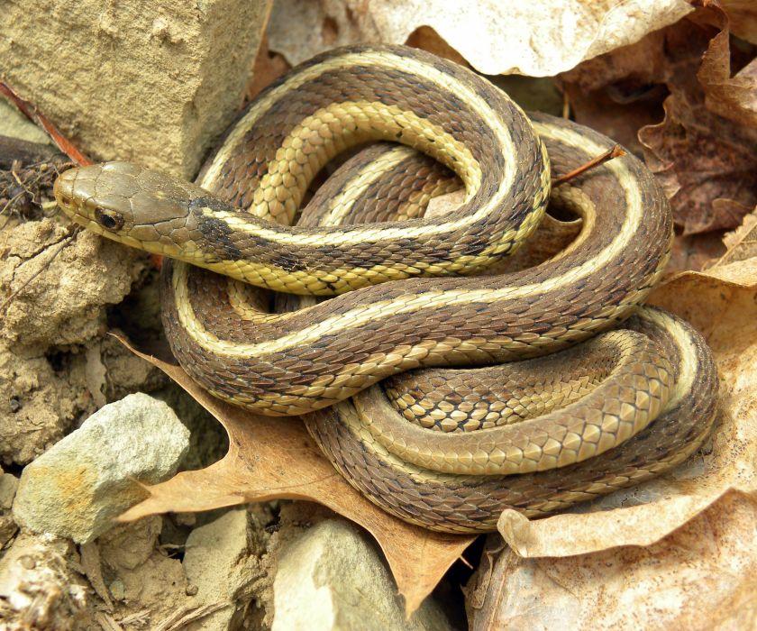 culebra enroscada reptil animales wallpaper