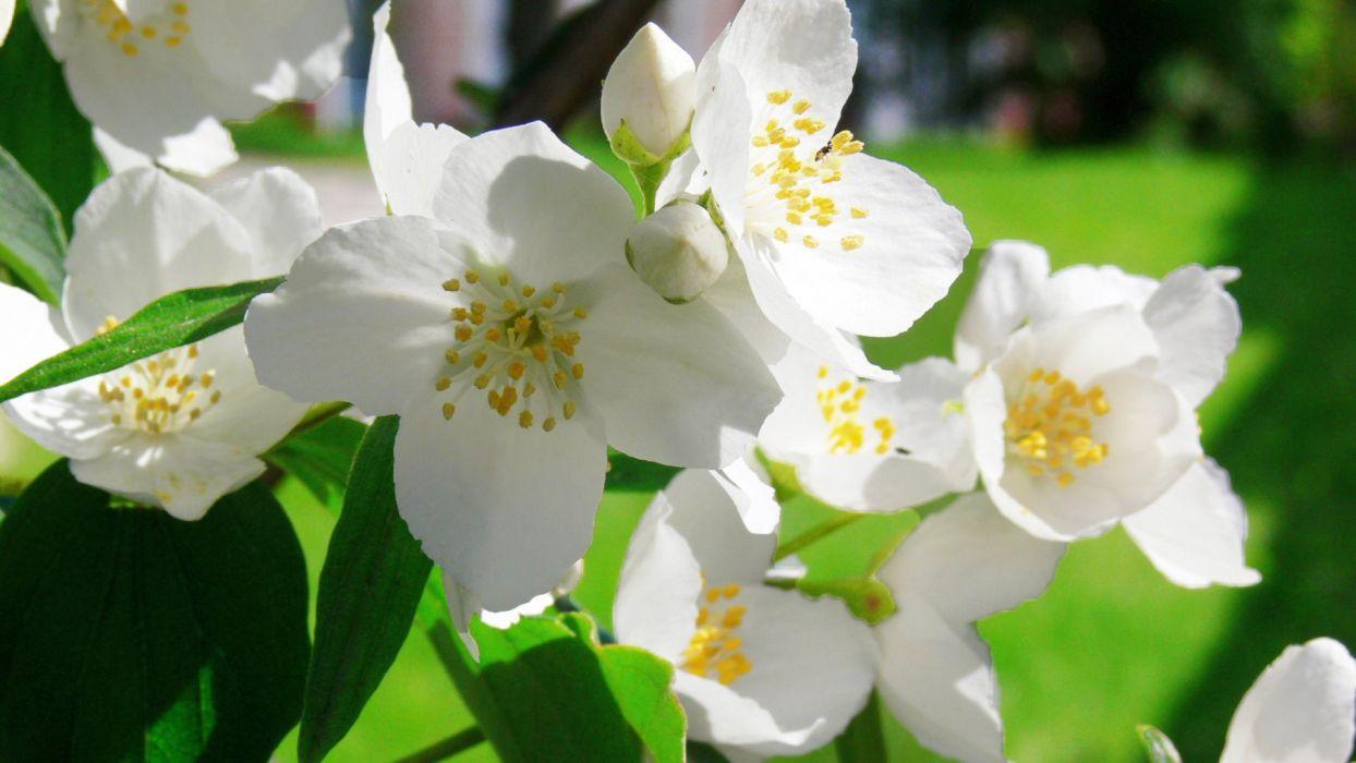 jazmines flores blancas wallpaper