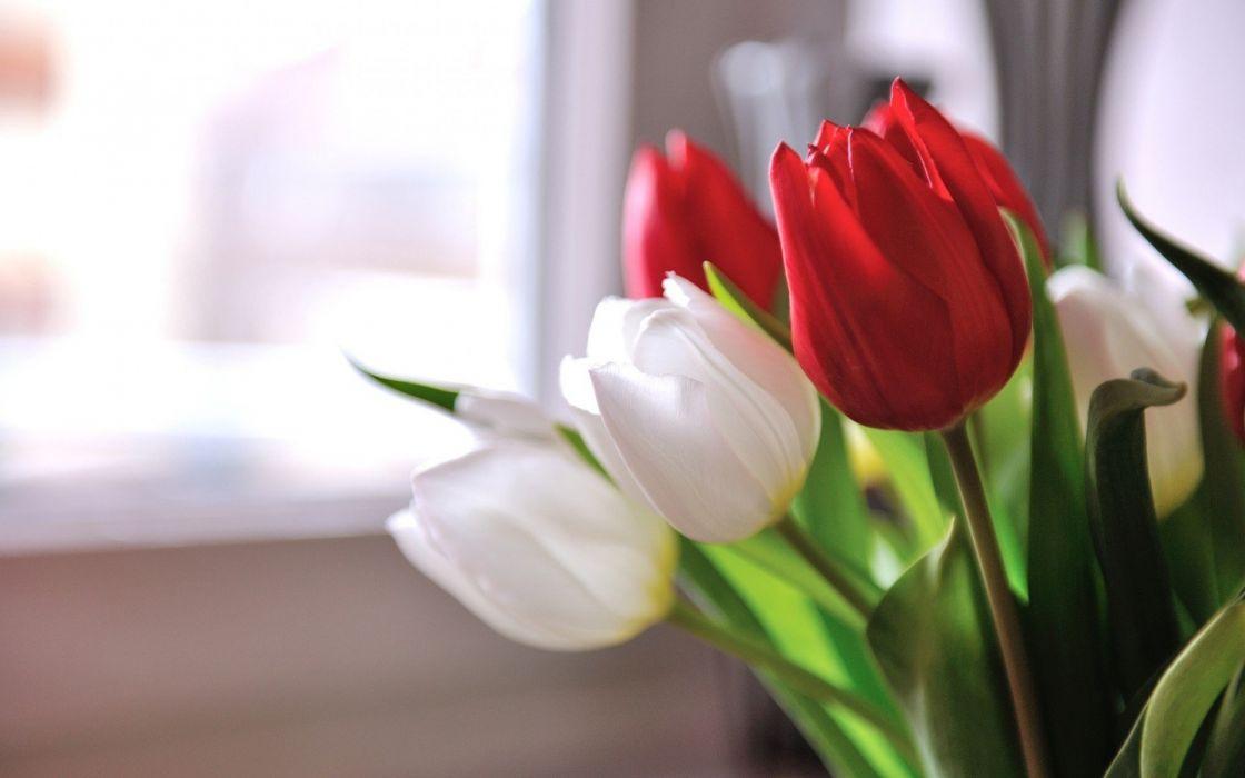 flores tulipanes blancos rojos wallpaper