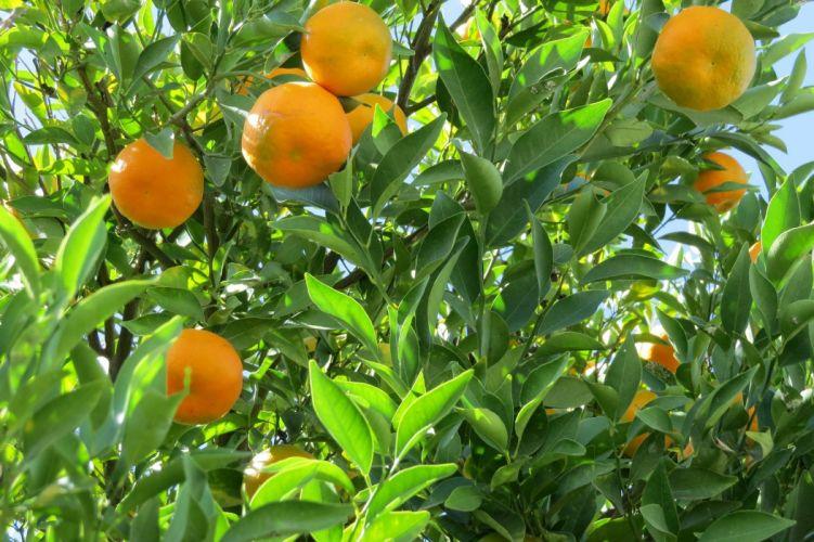 arbol frutas mandarinas naturaleza wallpaper