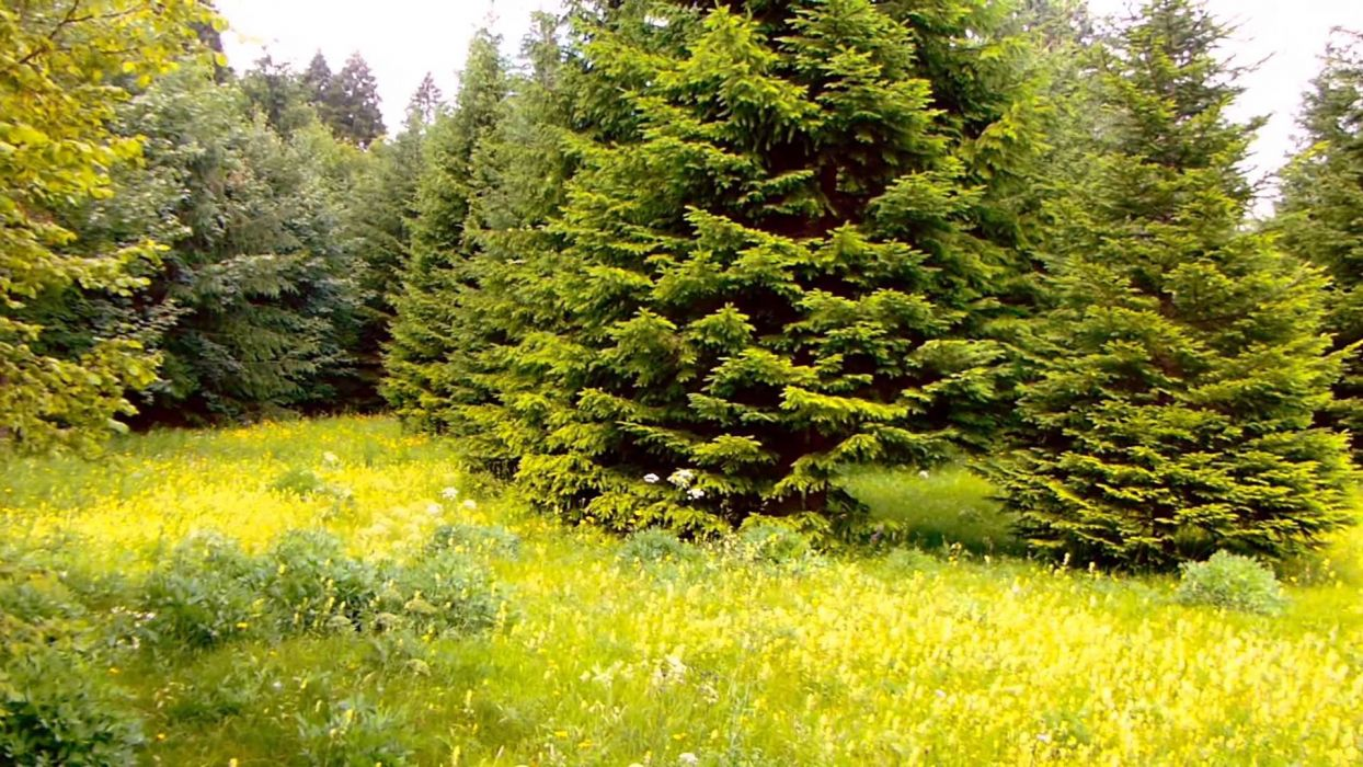 pino arboles bosque naturaleza wallpaper