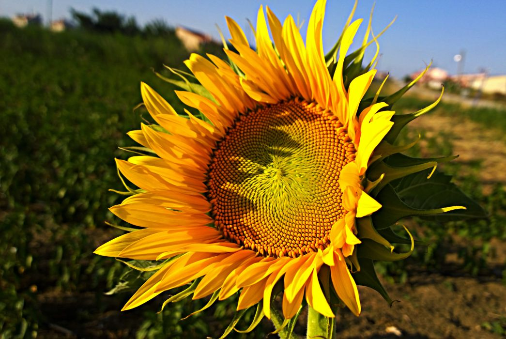 flower sunflower macro nature sun image wildflower  wallpaper