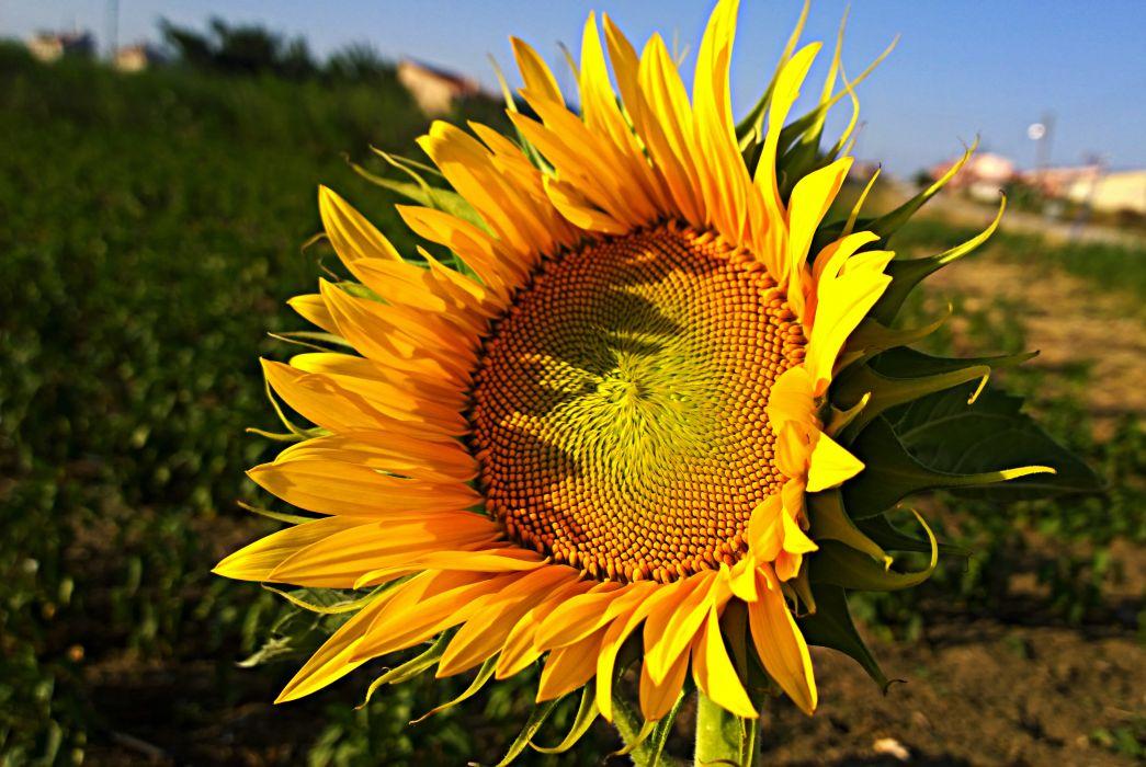 flower sunflower macro nature sun image wildflower  wallpaper