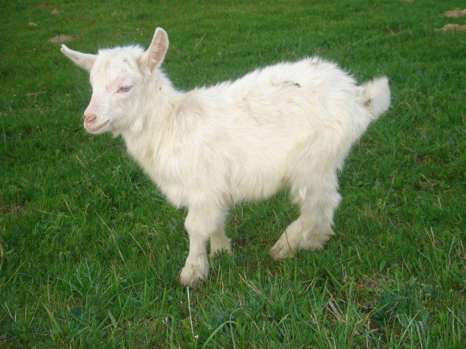 animal white goat horns grass green baby goat wallpaper