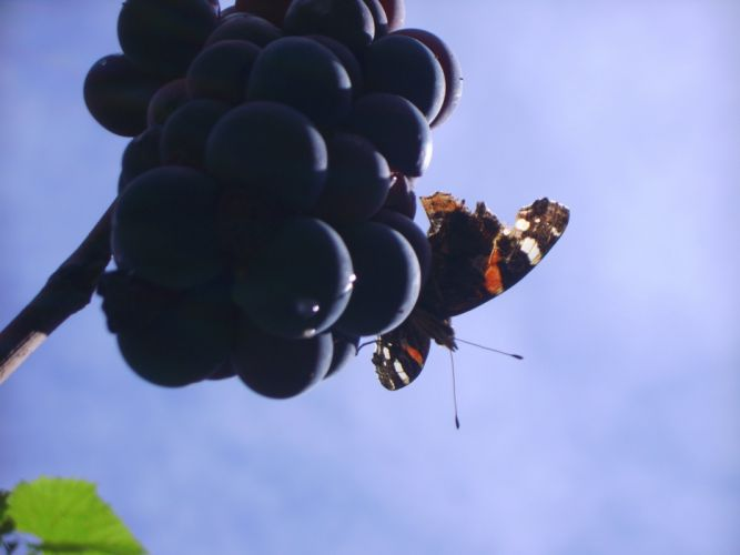 grapes purple butterfly sky blue green wallpaper