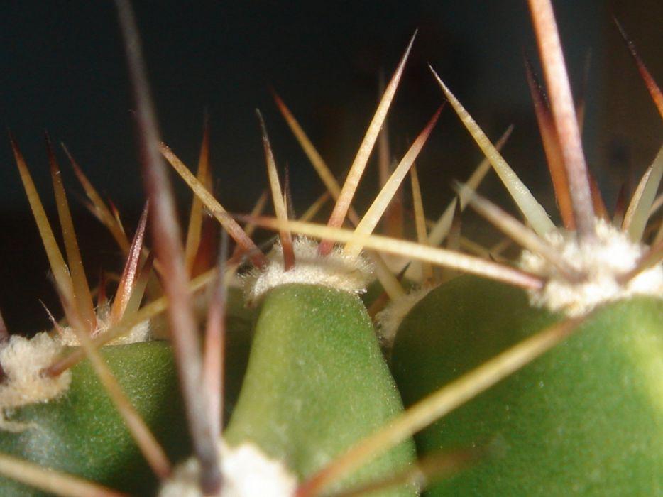 macro cactus green needle wallpaper