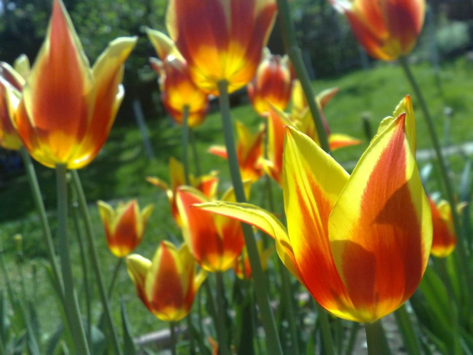 tulips spring green yellow orange floer wallpaper