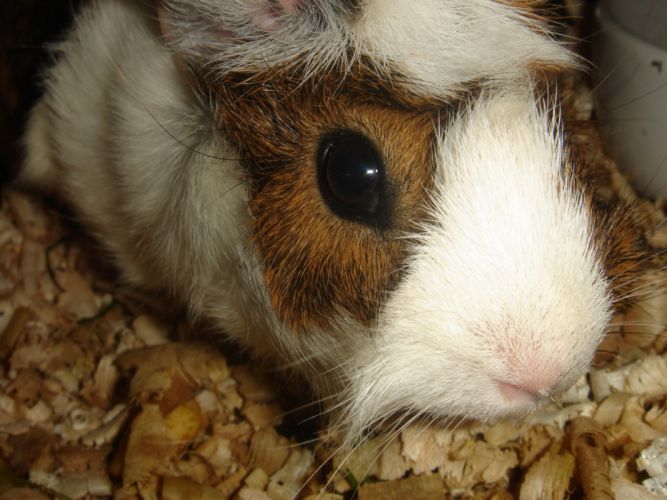 hamster fur fluffy wallpaper