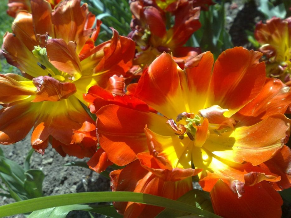 orange flower summer sun green wallpaper