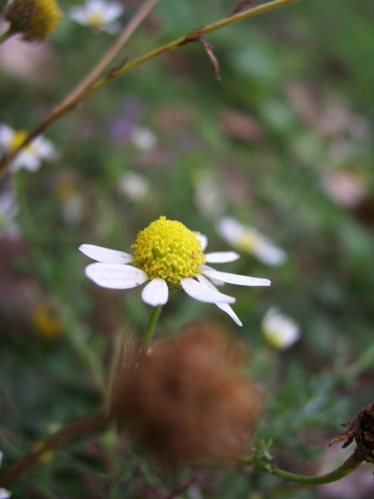 little flower yellow white petals spring chamomile wallpaper
