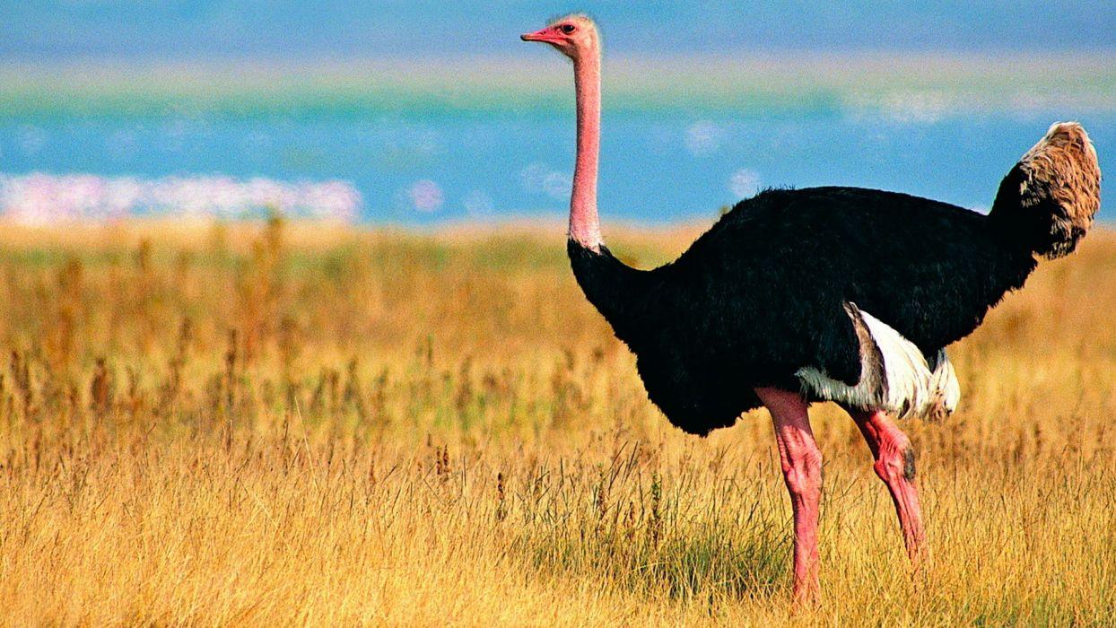 avestruz ave animales wallpaper