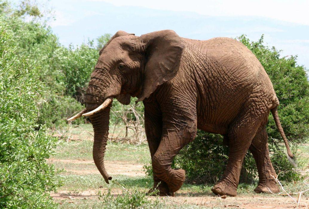 elefante paquidermo animales savanna wallpaper