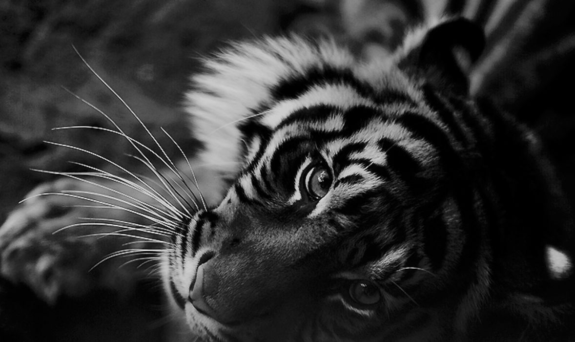 Fifty shades of Tiger wallpaper