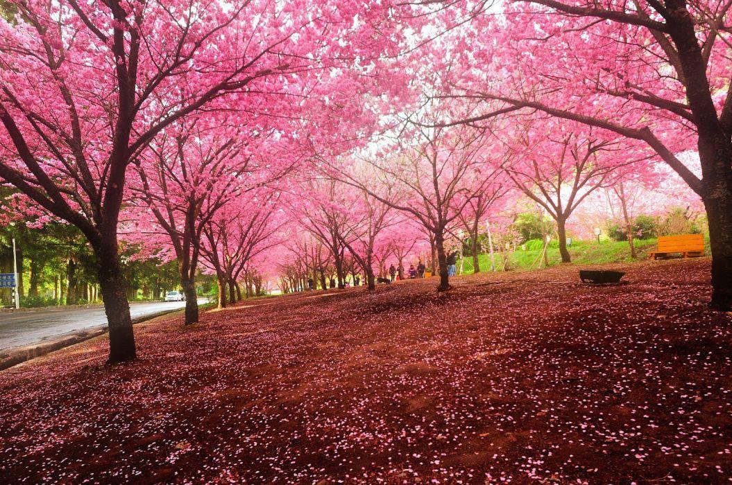 sakura tokyo spring flower peoples tree nature landscape wallpaper