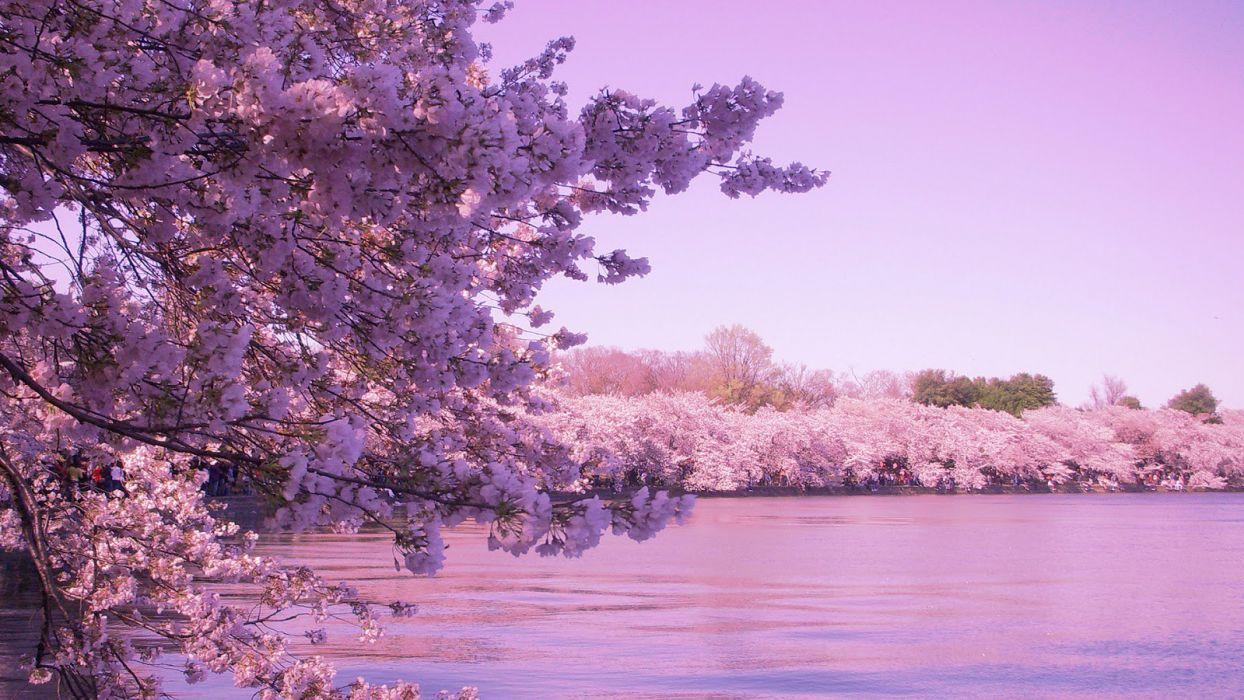 sakura tokyo spring flower peoples tree nature pink wallpaper