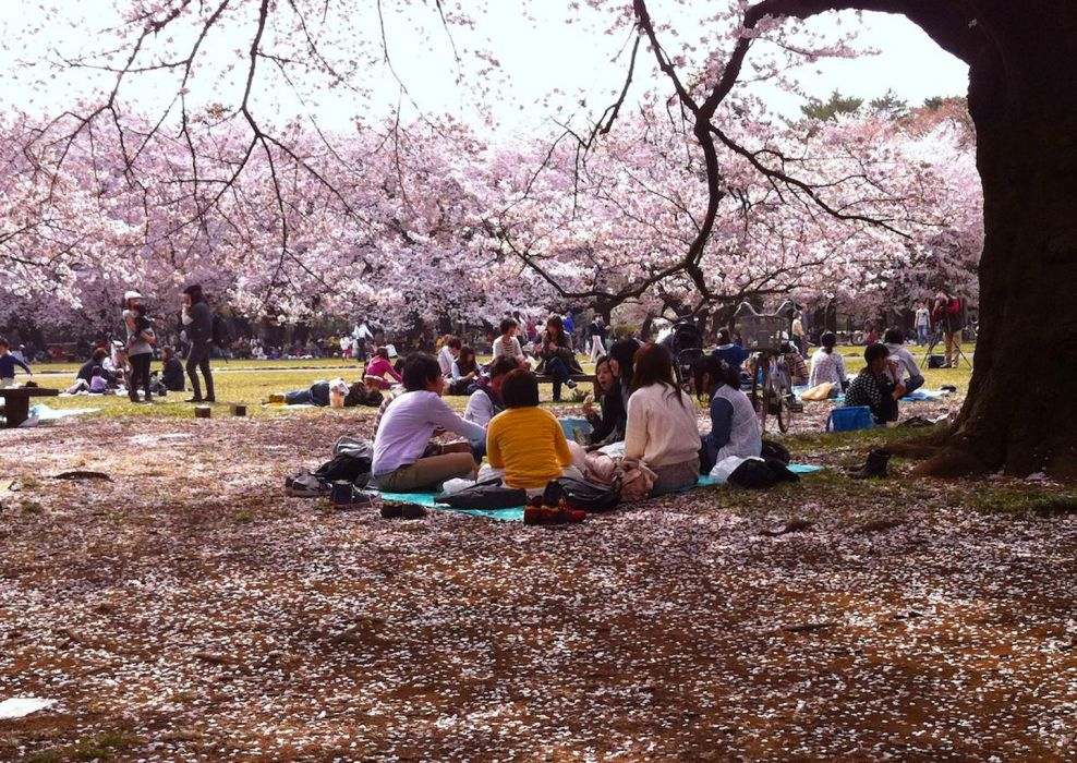 sakura tokyo spring flower peoples picnic tree nature wallpaper