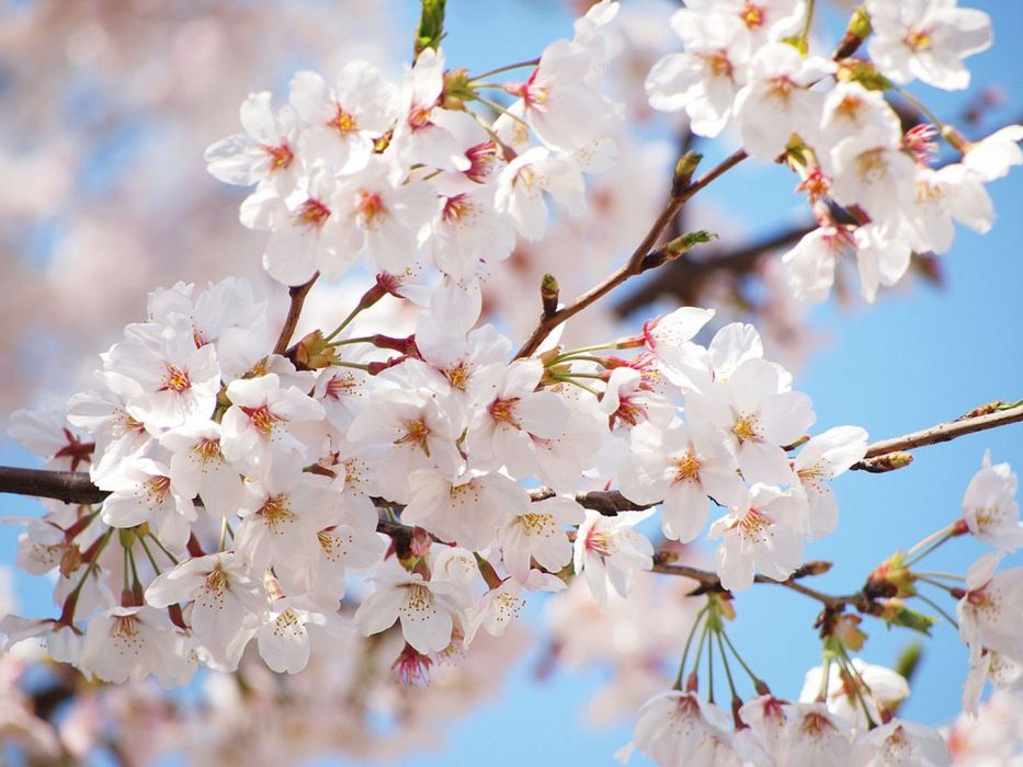 beauty spring tree flower nature wallpaper