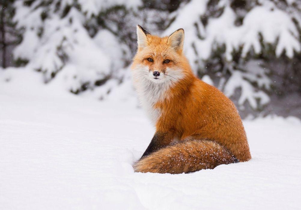 winter snow nature landscape fox wallpaper