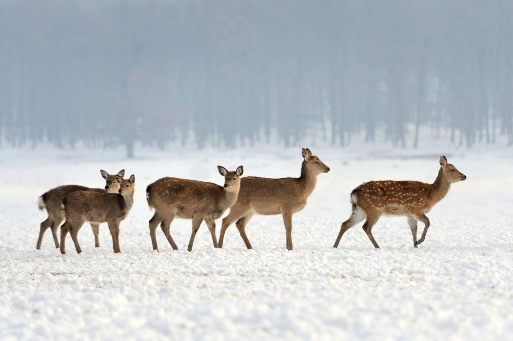 winter snow nature landscape deer wallpaper