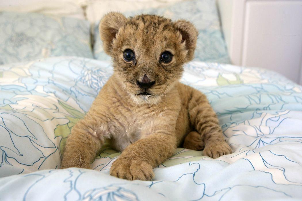 cachorro leon felino animales wallpaper