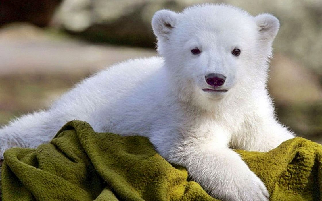 animales cachorro oso polar wallpaper