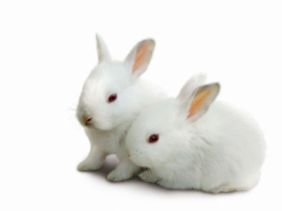 conejitos blanco crias roedores animales wallpaper