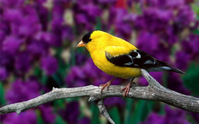 jilguero amarillo ave animales wallpaper