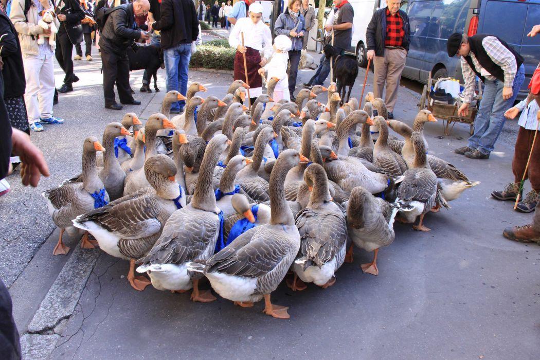 patos aves animales ciudad wallpaper