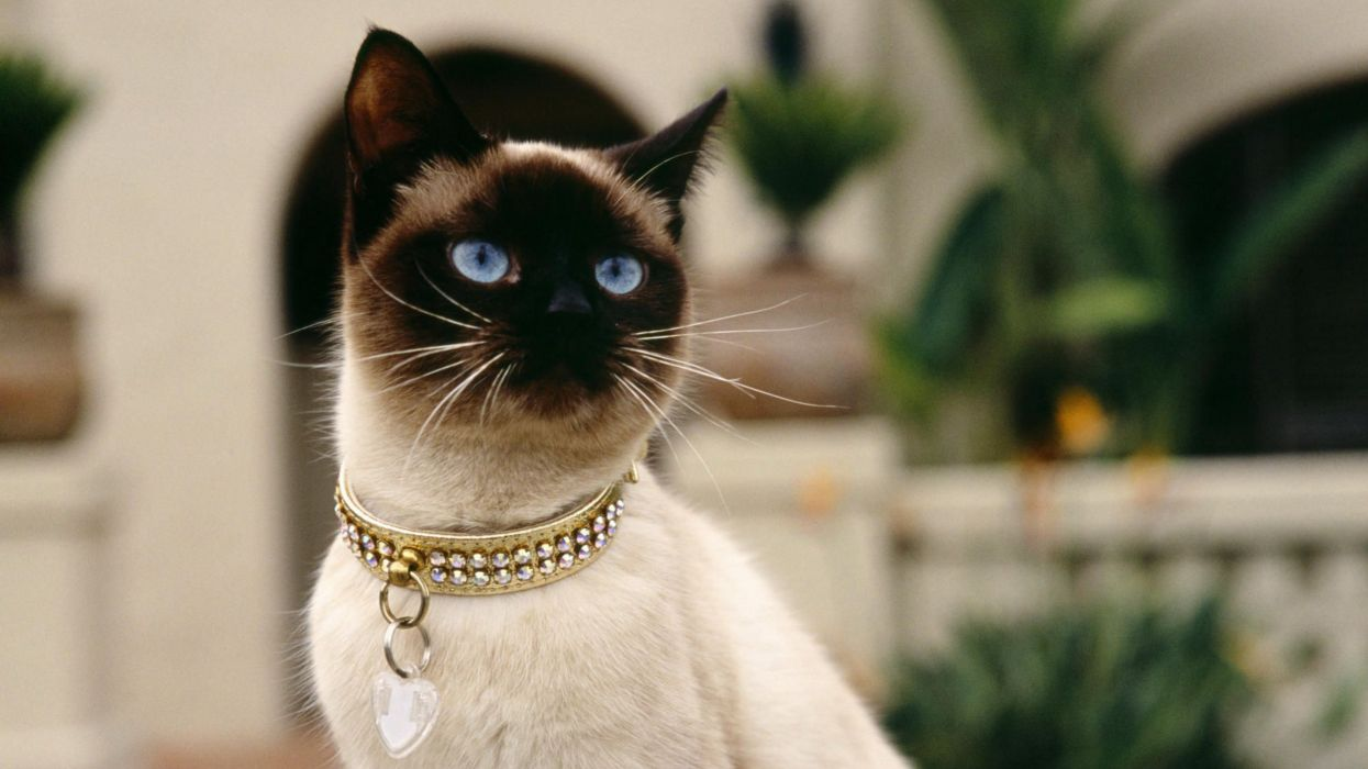 gato siames collar animales wallpaper