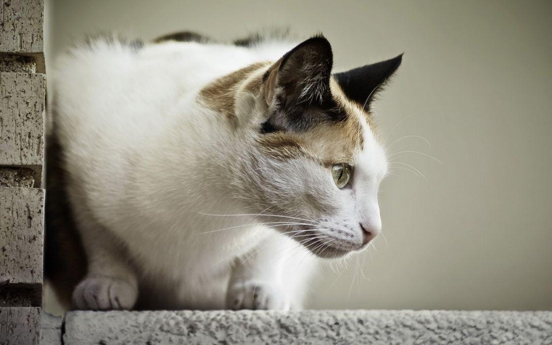gato comun animales felino wallpaper