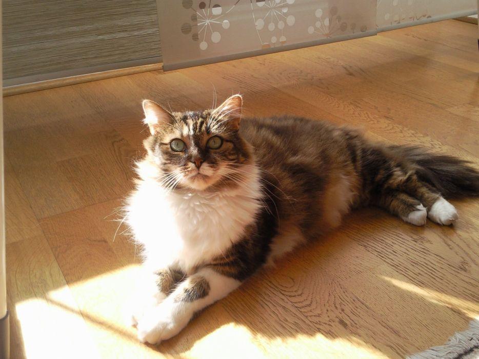 gato felino animale sol wallpaper