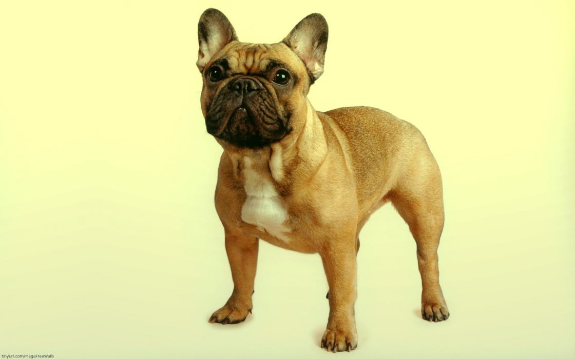 bulldog frances perro animales wallpaper