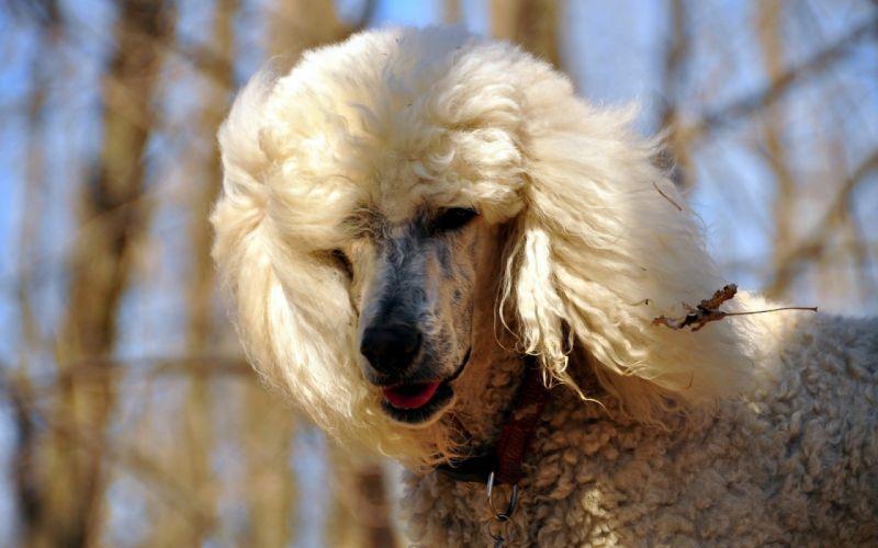 perro animales caniche mascotas wallpaper