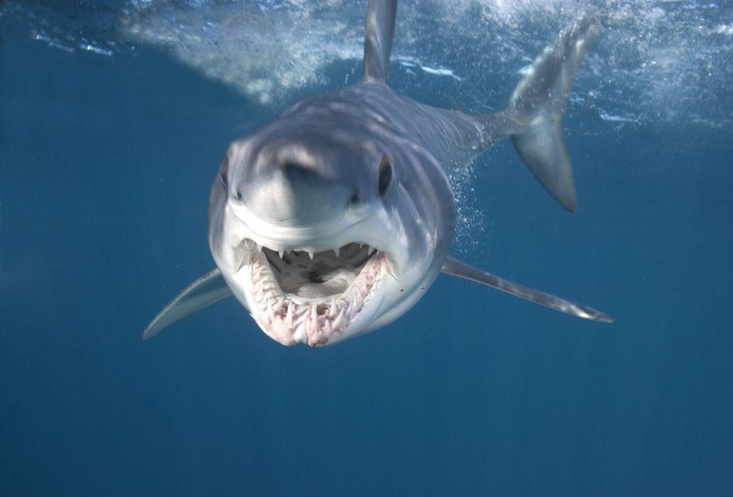 tiburon blanco esqualo animales wallpaper